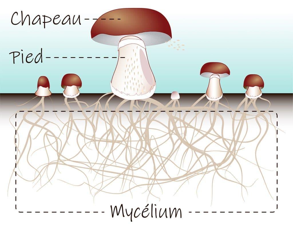 Structure du champignon shiitake, chapeau et mycélium.