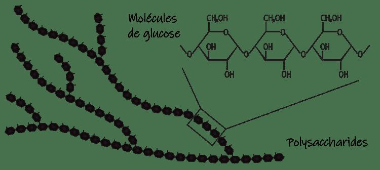 Structure des polysaccharides.