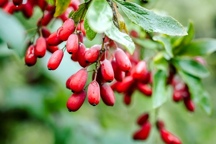Berberis vulgaris fruits Nutrixeal Info