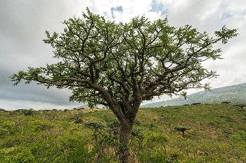 Boswellia serrata Nutrixeal Ifno