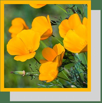 Eschscholzia californica index nutraceutique Nutrixeal Info