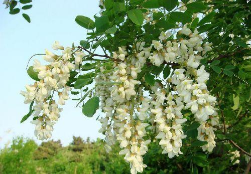 Fleurs de Sophora japonica source de quercétine