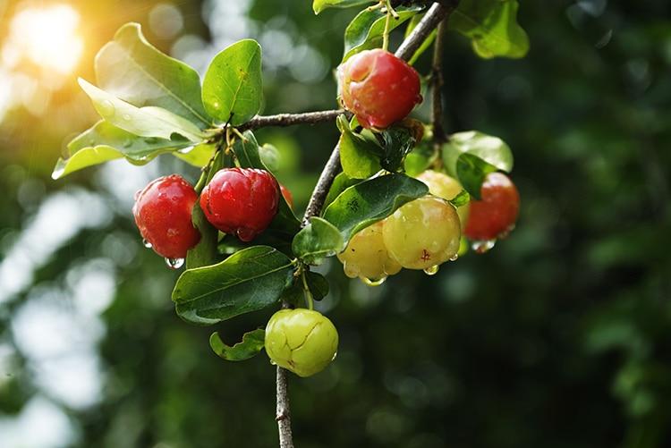 acérola riche en vitamine C Nutrixeal Info