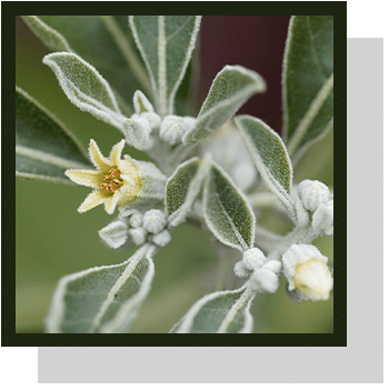 ashwagandha index nutraceutique Nutrixeal Info 2