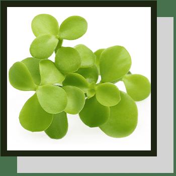 bacopa monnieri index nutraceutique Nutrixeal Info 2