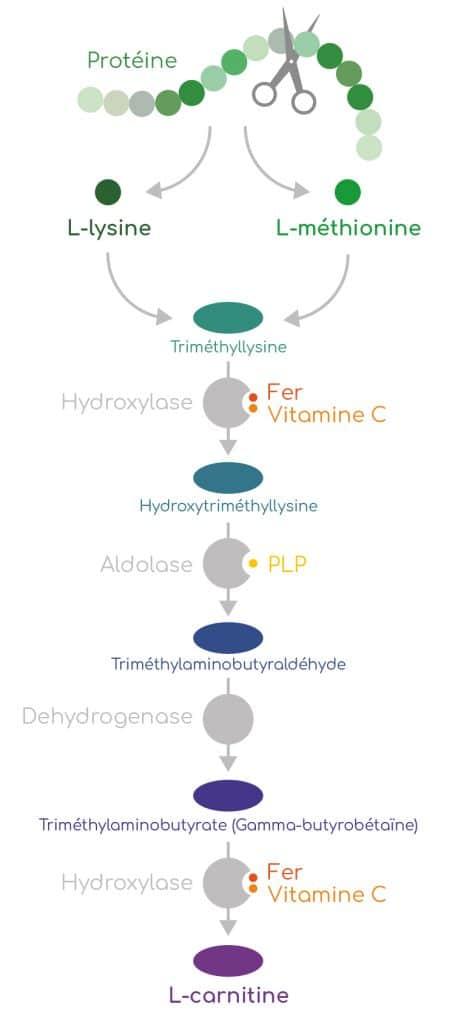 Voie de biosynthèse de la carnitine.