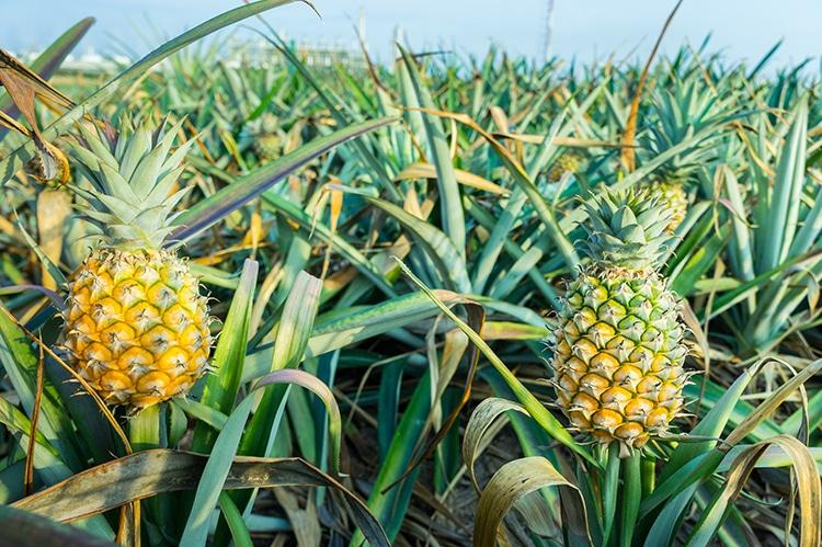 Culture d'ananas pour l'extraction de la bromelaïne.