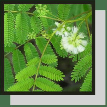 fbres acacia index nutraceutique Nutrixeal Info