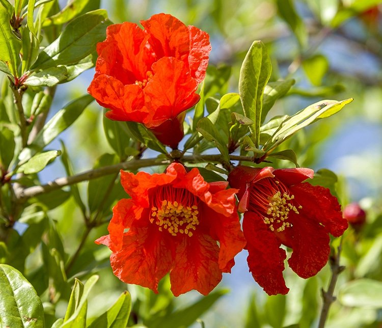 Fleurs de grenadier : balaustes