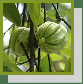 garcinia cambogia index nutraceutique Nutrixeal Info