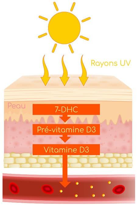 Synthèse de la vitamine D3 dans la peau