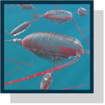 Calanus finmarchicus copepodes Index nutraceutique Nutrixeal Info