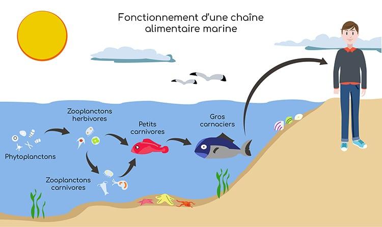 Le Calanus se trouve à la base de la chaîne alimentaire.