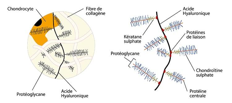 Chondroïtine au sein de la matrice extracellulaire du cartilage.