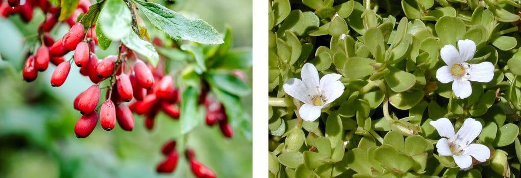 Berberis vulgaris et Bacopa monnieri particulièrement touchées par le problème de la contamination aux HAP.