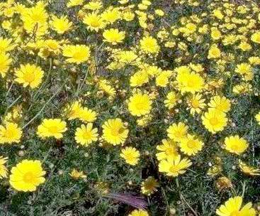 Chrysanthellum americanum de Nutrixeal est cultivé en Afrique.