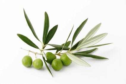 Feuilles d'olivier, source de polyphénols