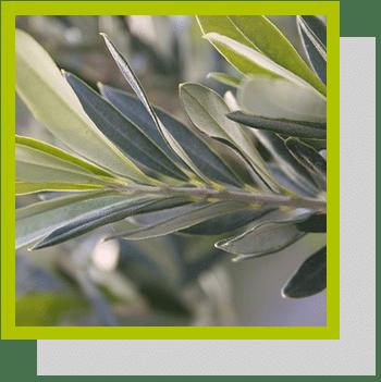 feuilles olivier index nutraceutique Nutrixeal Info