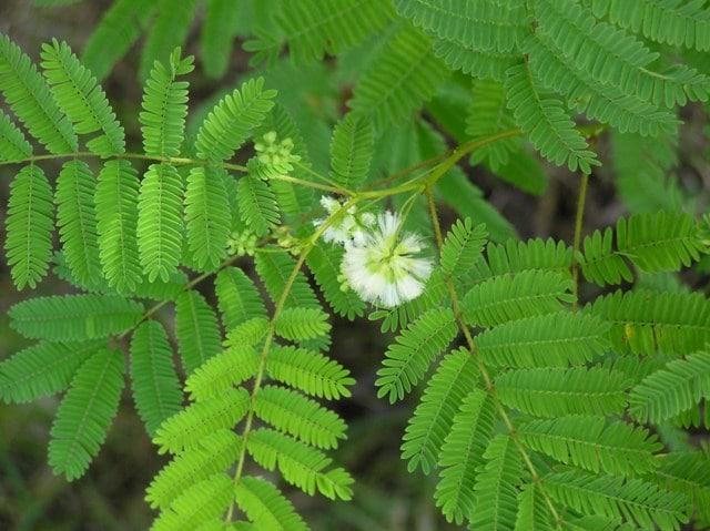 Le produit Prébiosoft Nutrixeal contient des fibres prébiotiques d'acacia BIO.