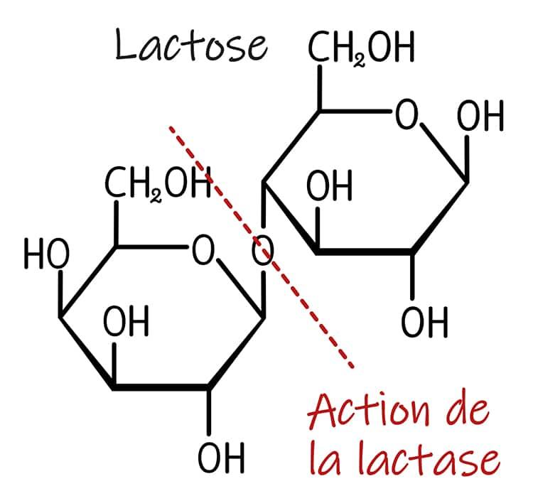 La lactase digère le lactose en glucose et galactose.