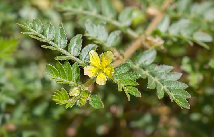 Tribulus terrestris feuilles et fleurs nutraceutique Nutrixeal