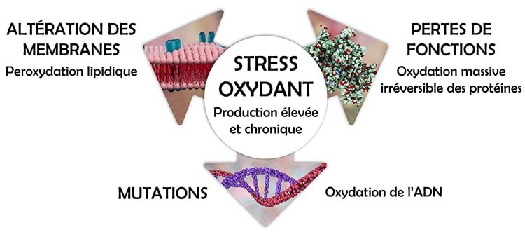 Effets du stress oxydant des mitochondries.