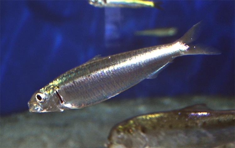 Sardine riche en omega-3 DPA.