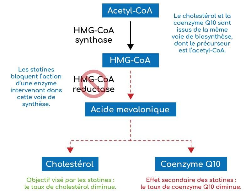 Les statines ont un effet sur la production de la coenzyme Q10 ubiquinol car la voie de biosynthèse est la même que celle du cholesterol.