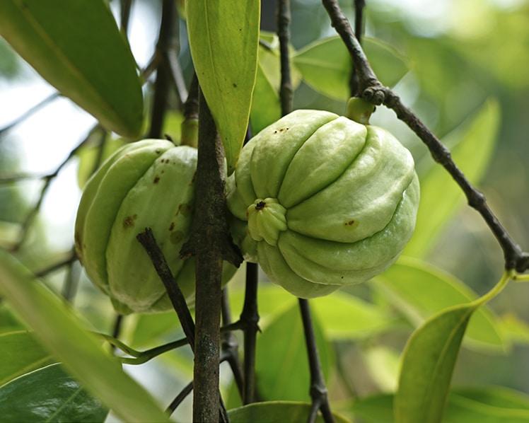 Garcinia cambogia source acide hydroxycitrique.