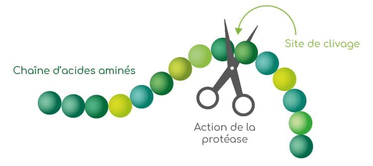 Mécanisme d'action des protéases.