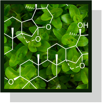 bacopa bacosides nutraceutique Nutrixeal Info