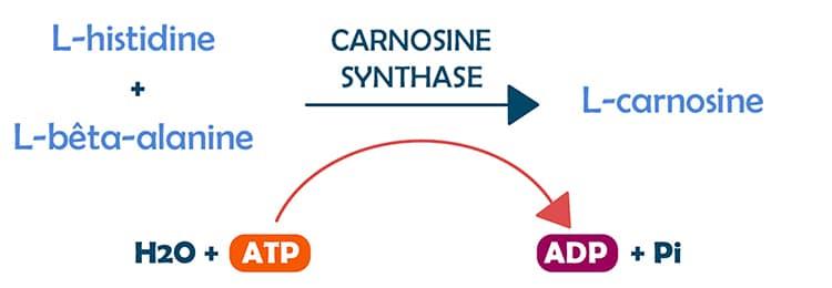 Biosynthèse de la carnosine.