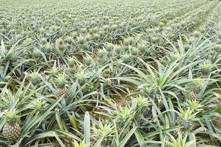Bromélaïne : culture d'ananas sans pesticides.