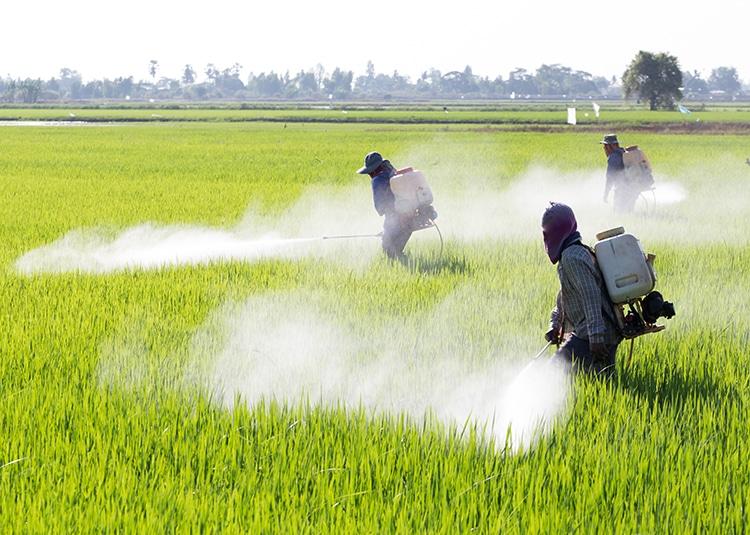 Traitement pesticides dans une rizières indienne.