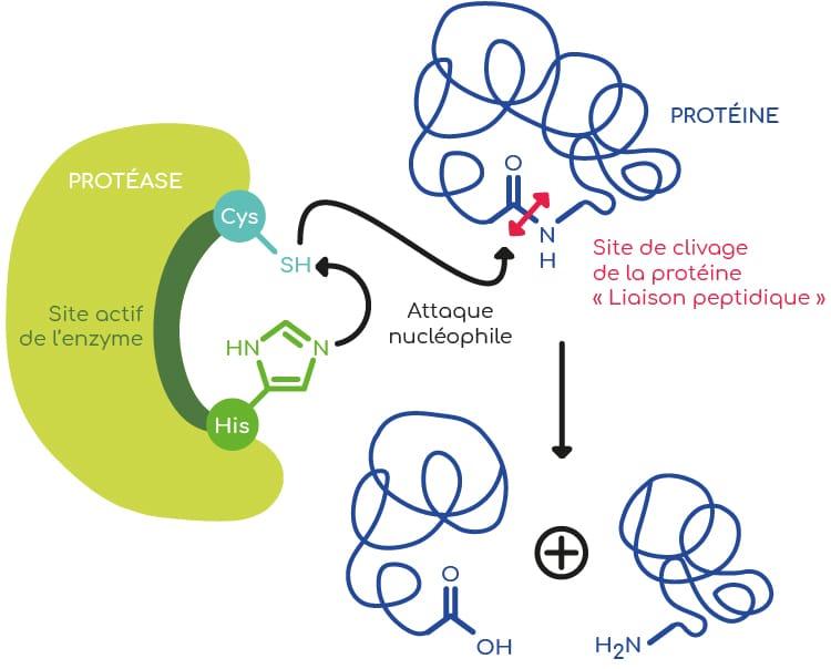 Action d'une protéase à cystéine.