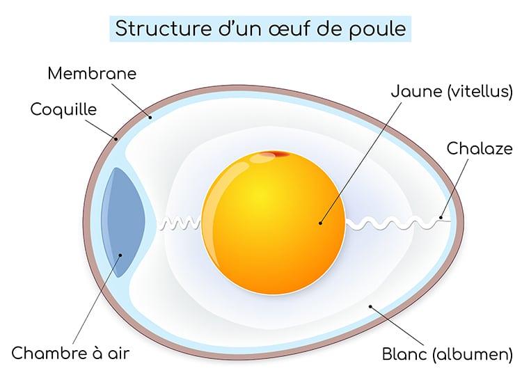 Structure d'un œuf de poule et membrane coquillère.