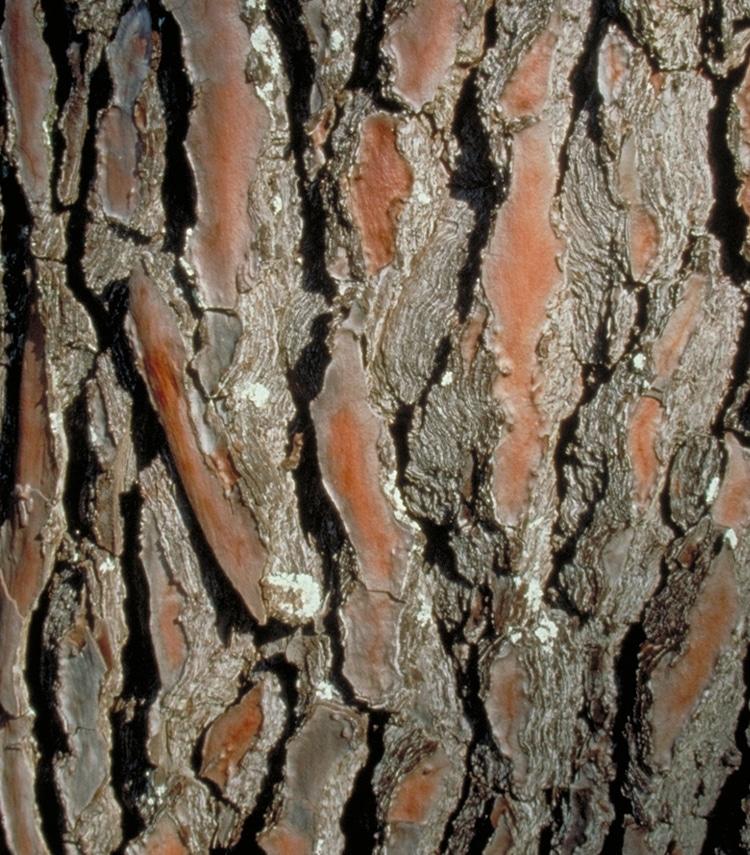 Le Pycnogenol est extrait de l'écorce de pin maritime.
