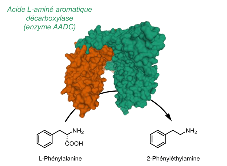 phényléthylamine synthèse