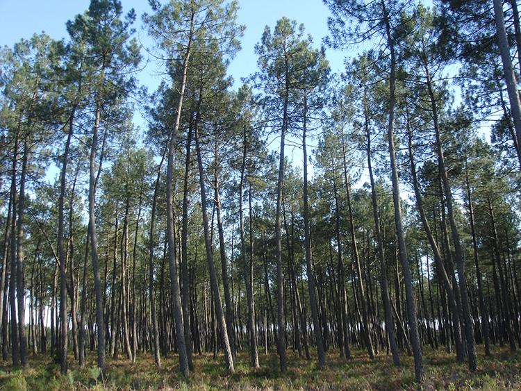 Pycnogenol : pinede pin maritime des Landes