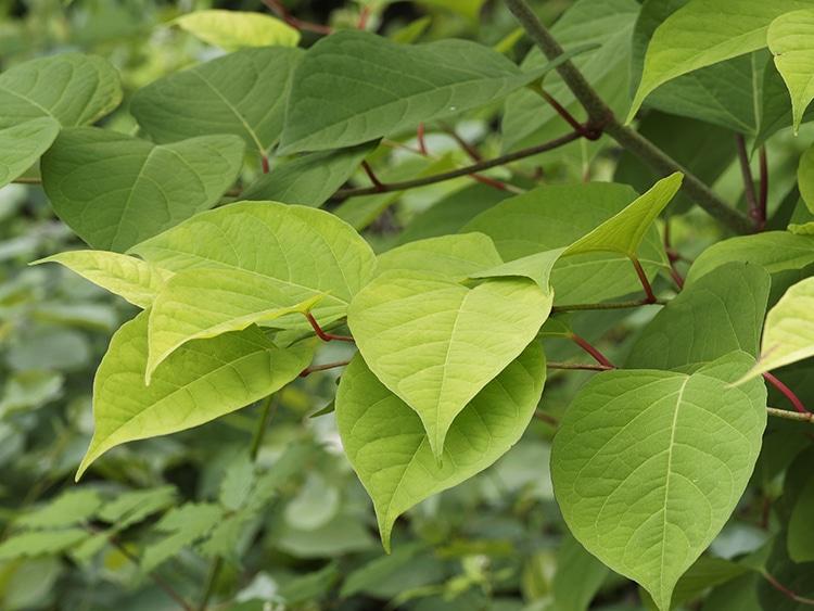 renouee du japon resveratrol Polygonum cuspidatum