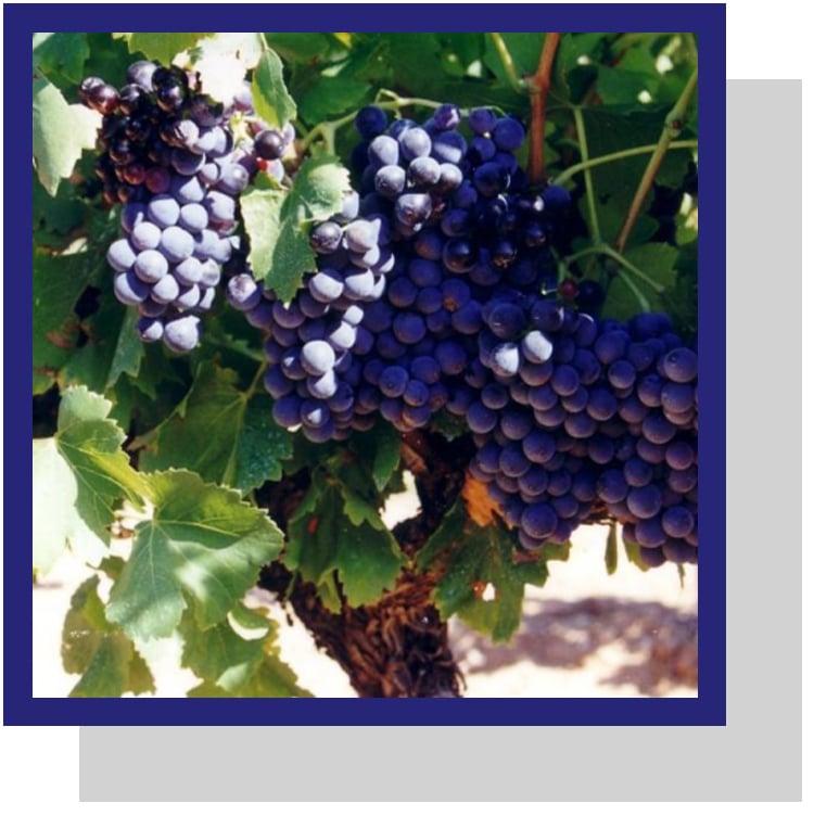 Resveratrol : antioxydant dans le raisin et le vin.