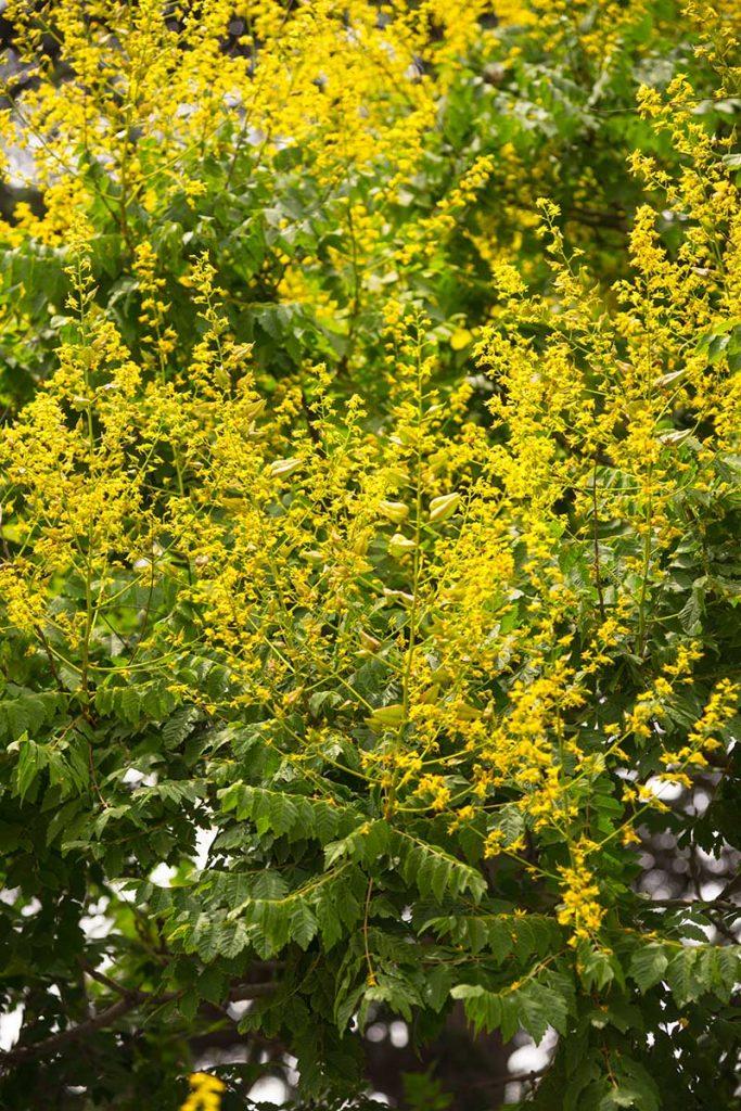 boutons floraux de sophora japonica source rutine quercetine