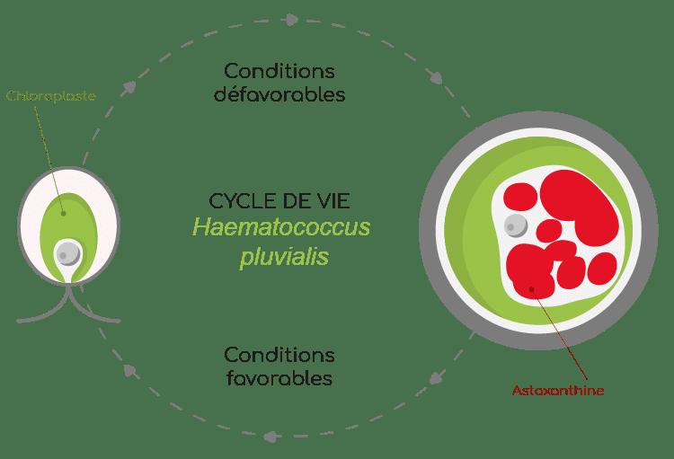 Haematococcus pluvialis cycle de vie