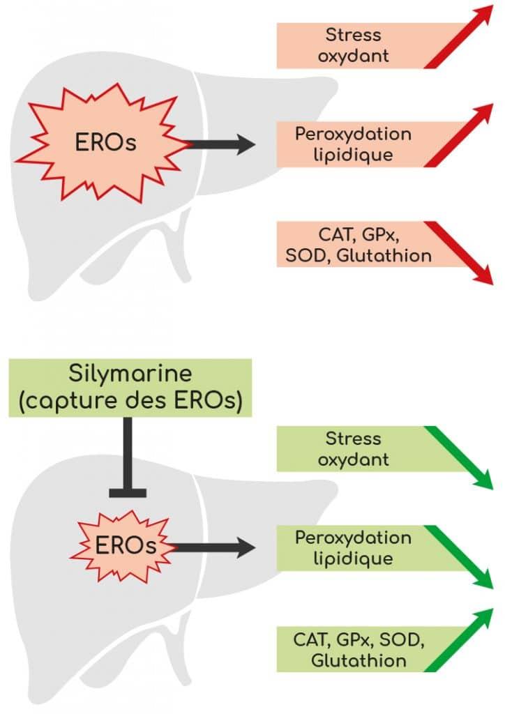 action de la silymarine sur le foie et le stress oxydant