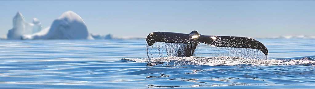 Baleine antarctique se nourrissant de Krill