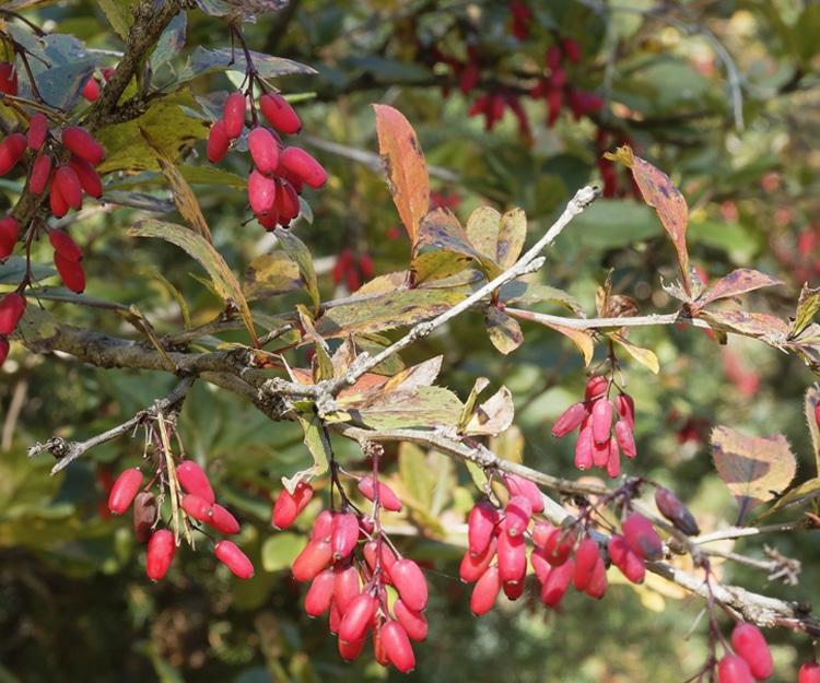 Berberis vulgaris Epine-vinette