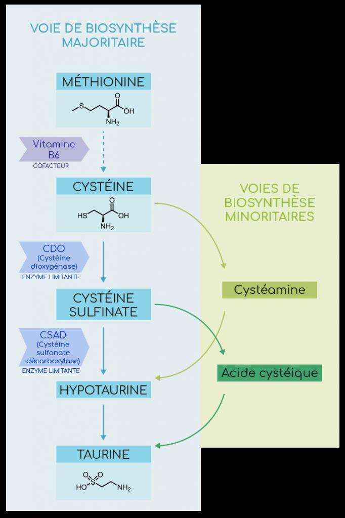 biosynthèse de la taurine