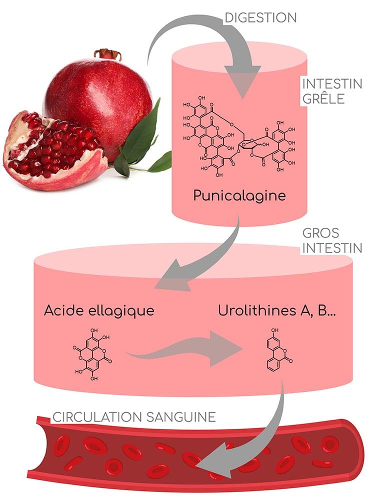 metabolisme de la punicalagine, principe actif de la grenade