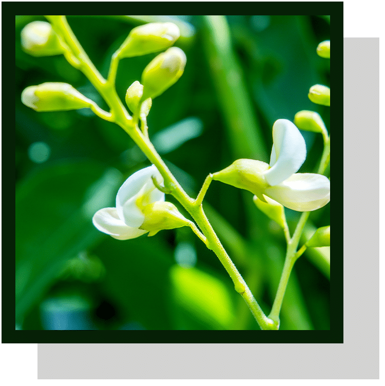 sophora japonica index nutraceutique nutrixeal info