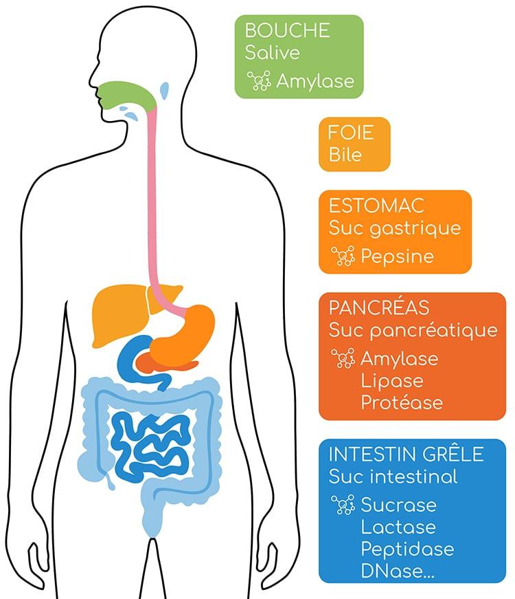 Enzymes digestives et sucs digestifs